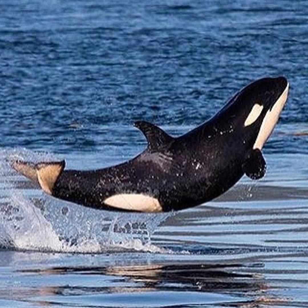 J50 credit to the San Juan Island Whale Museum #j50 #scarlet #orca #j50dreams