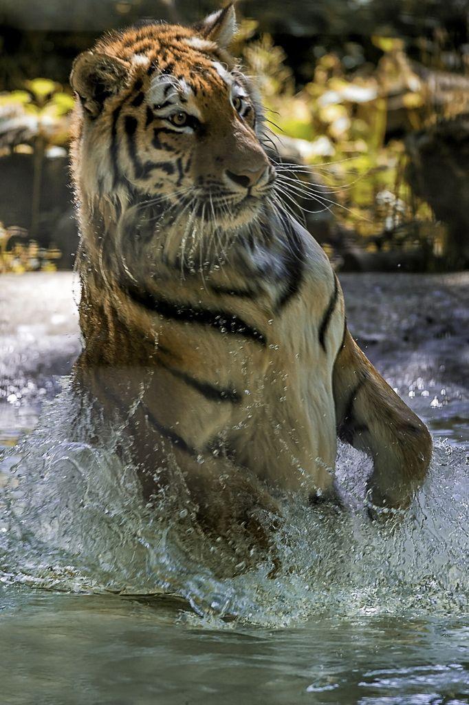 Tigers.. Animals beautiful, Big cats, Wild cats