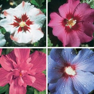 Hardy Hibiscus Collection Spring Hill Nursery
