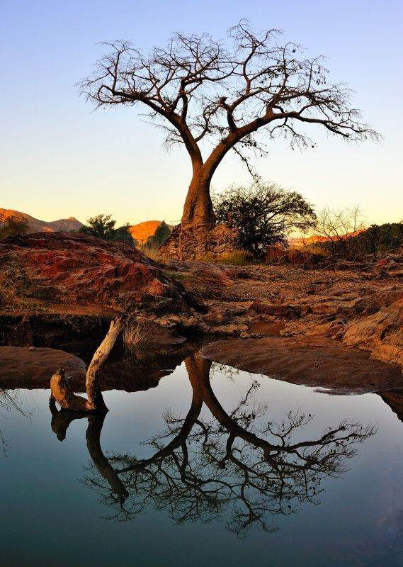 In African folklore the baobab is widely known as the tree that God planted upside down. According to the San (Bushmen) the Great Spirit gave each animal a tree. The hyena received the last tree, a baobab, and was so upset that he planted it upside down!