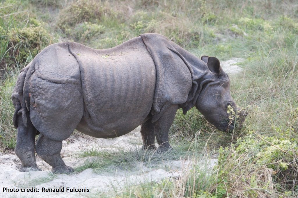 Greater one-horned rhinos have an ashy grey, hairless skin