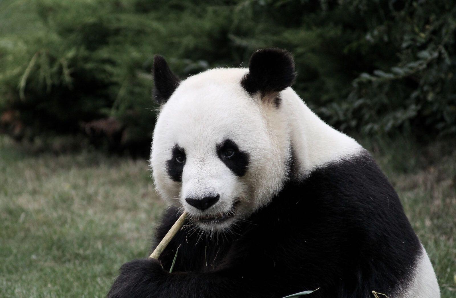 me panda thumb bears about tell