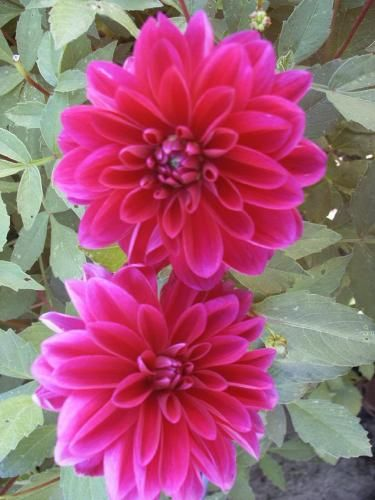 Pin By Gather Together On Just Flowers Beautiful Girl Indian Flowers Dahlia