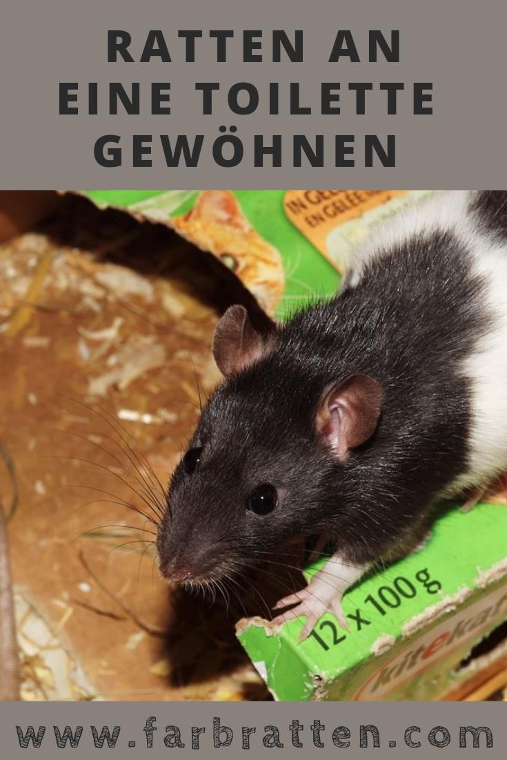 Rattentoilette Wie Du Ratten Beibringst Auf Toilette Zu Gehen