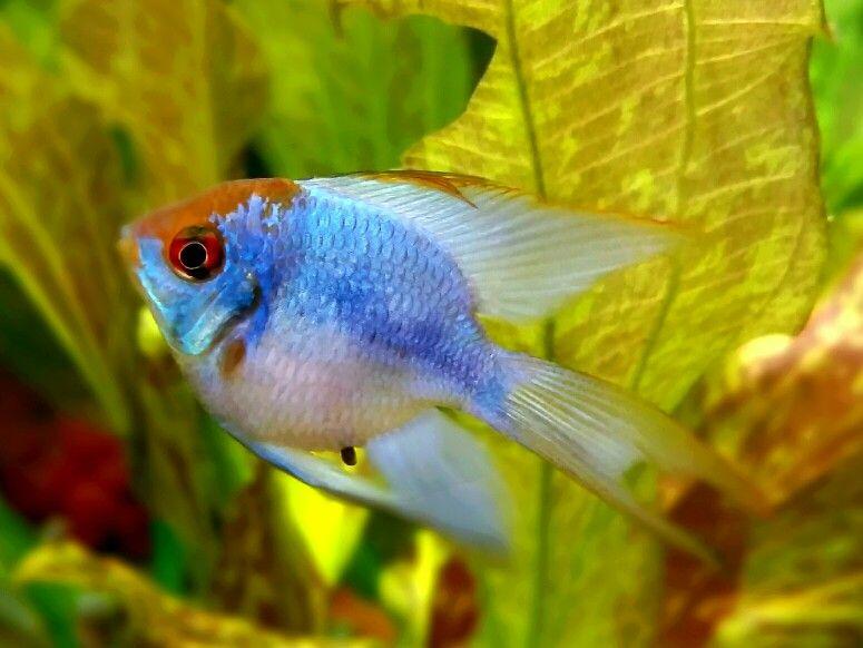 Balloon Blue Ram Ramirezi Balloon Fish Aquarium Fish Tetra Fish