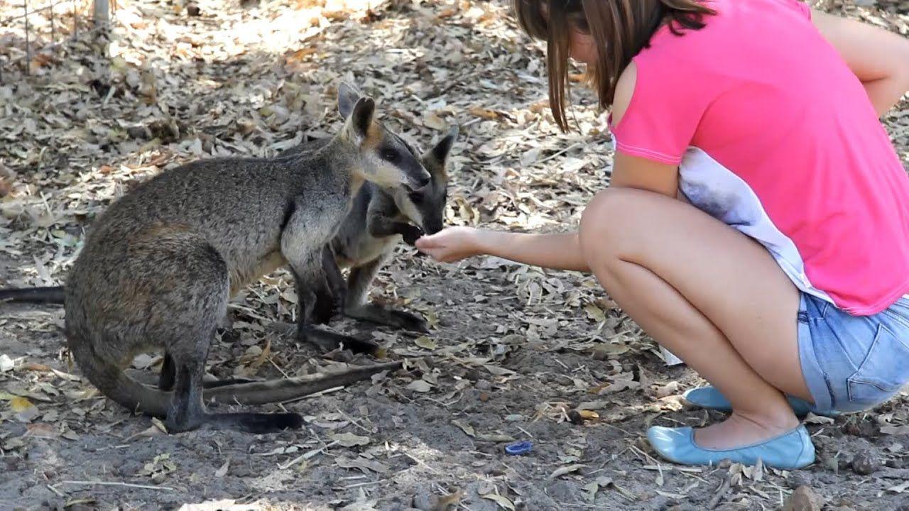 Feeding Cute Wallabies Aussie Wild Animal Cohunu Koa Animals