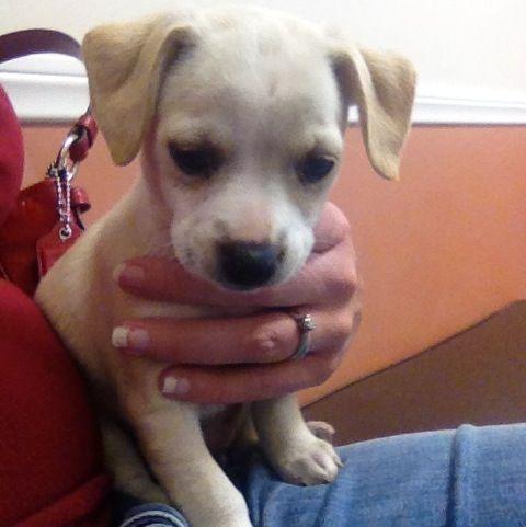 Chihuahua Mixed With Pitbull Puppies Chihuahua Mix Puppies