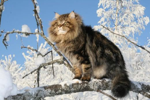 Siberian Forest Cat Siberian Forest Cat Norwegian Forest Cat Forest Cat