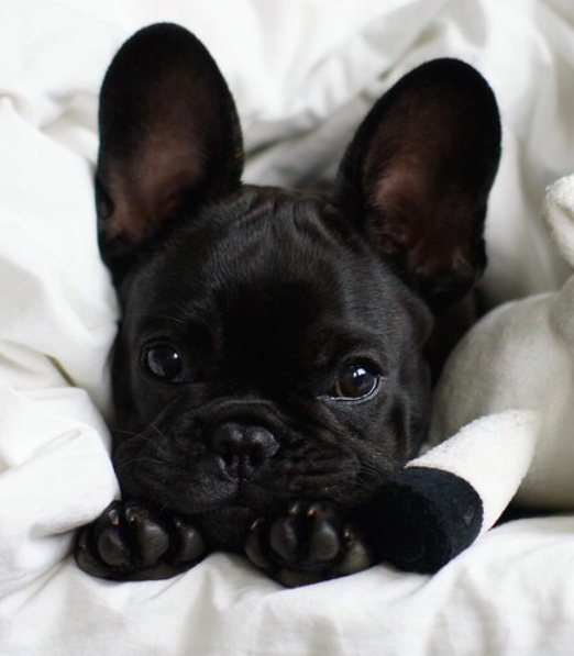 French Bulldogs Puppies Cute Animals Baby Animals