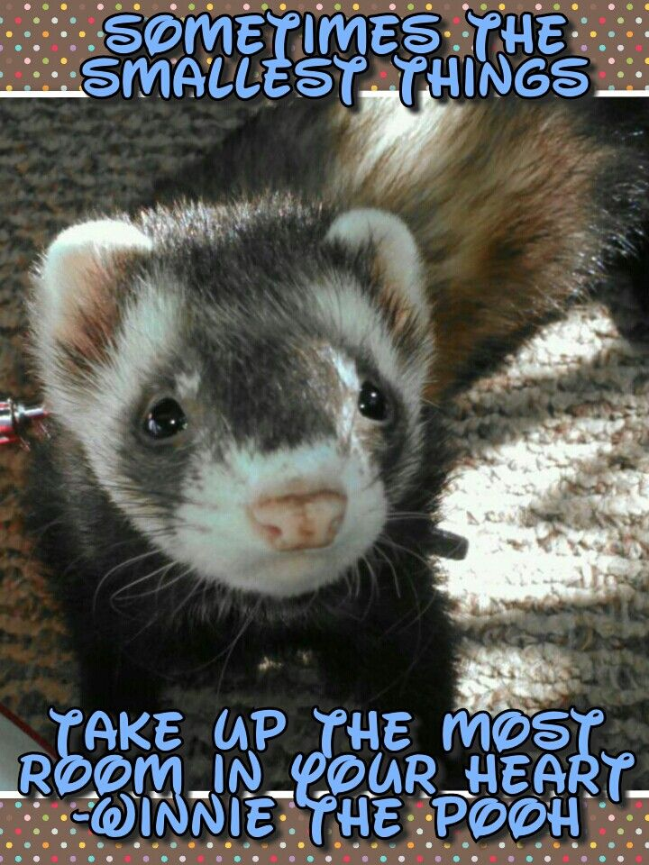 They Do Steal Your Heart Along With Anything Else Thry Can Wrapt Their Teeth Around Ferret Animal Close Up Harry Potter Characters