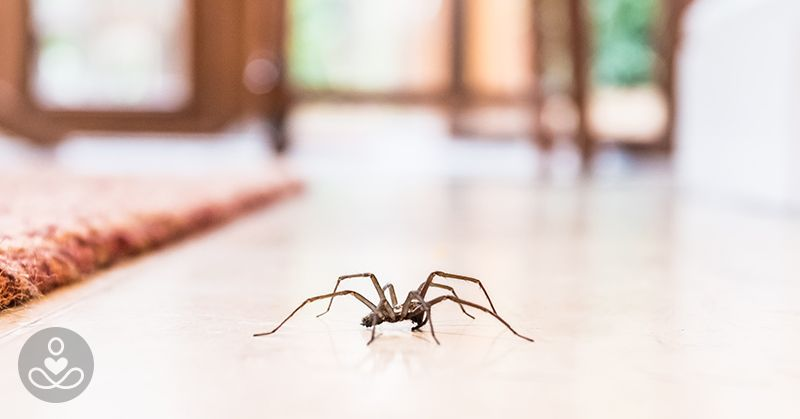 What You Should Do When You Find A Spider In Your Home Spiders Repellent House Spider Common House Spiders