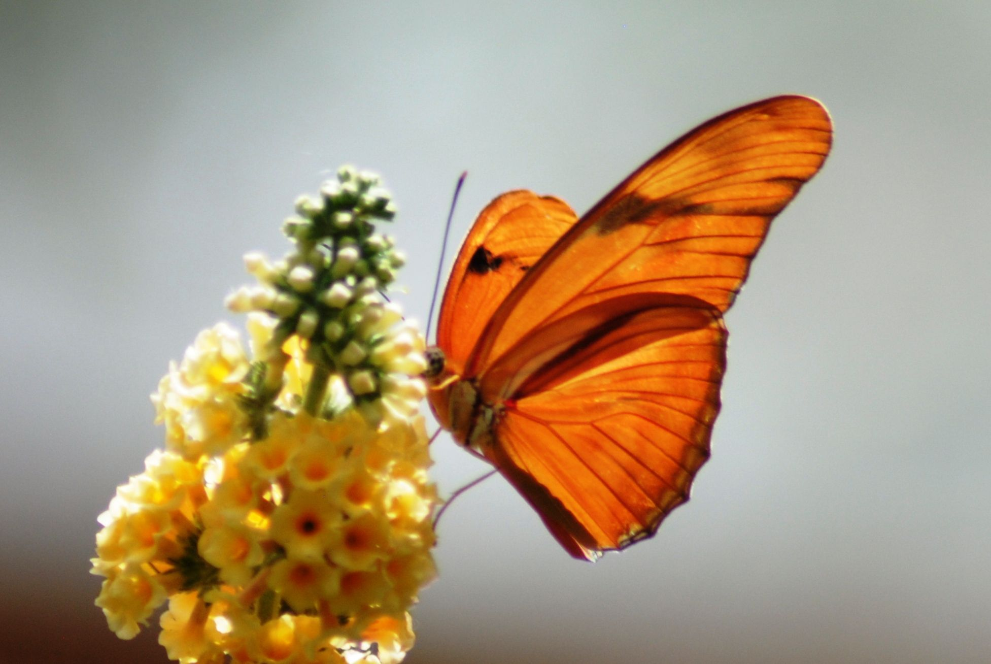 Orange butterfly spotted in Corpus Cristi, TX. Orange