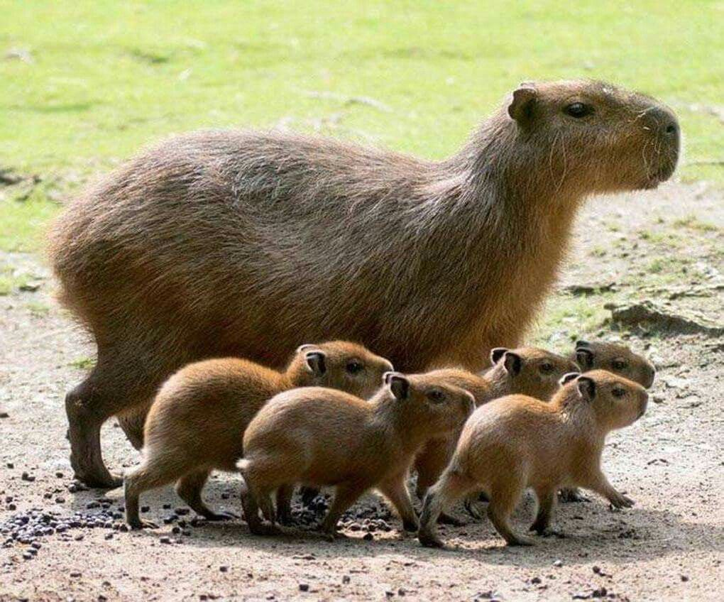 Capybaras in Berlin zoo