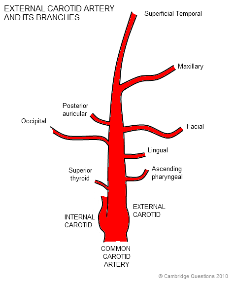 external carotid artery and its branches - | Trust Me, I\'m (Almost ...