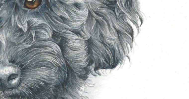 How To Paint A Curly Haired Poodle In Watercolor Labradoodle