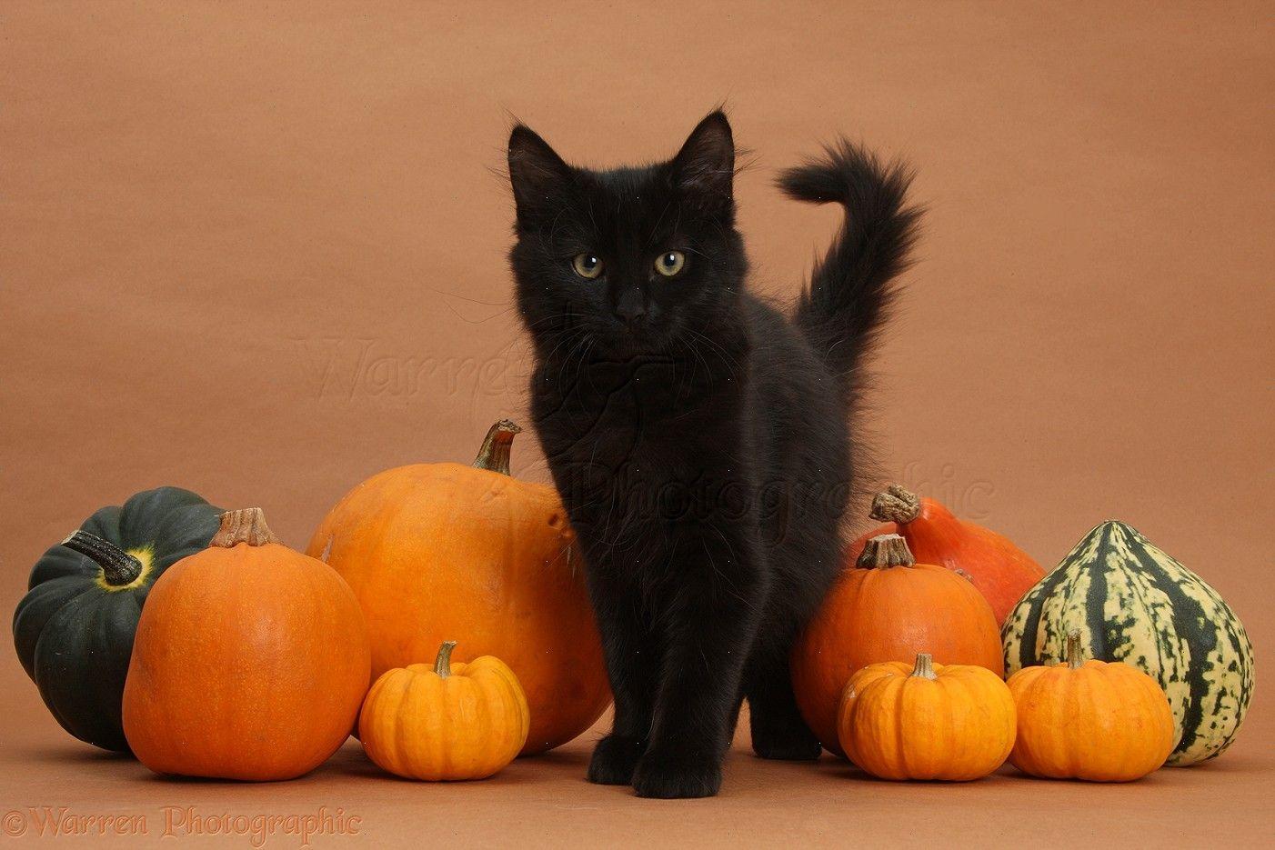 Good Wallpaper Halloween Kitten - 3f72defc8a33a1292e1e1c992d43b679  Picture_693249.jpg