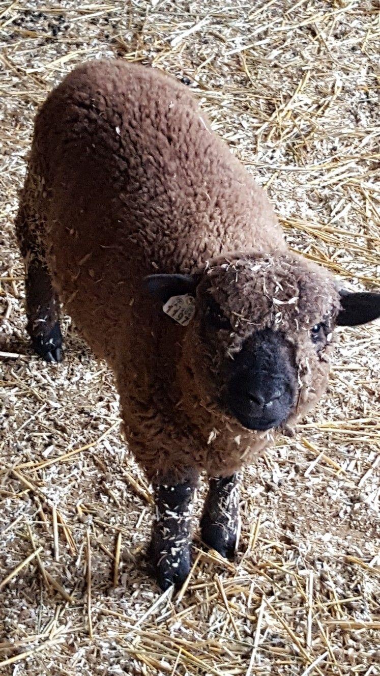 Tote Bag - Ive Gotta Sheep-cret by VIDA VIDA FXUjO7G
