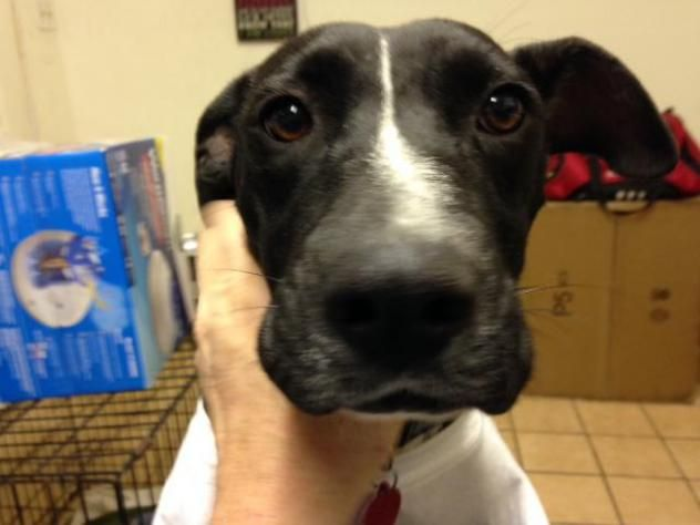 Adopt Carly Lover Girl On Labrador Retriever Mix Dogs Whippet
