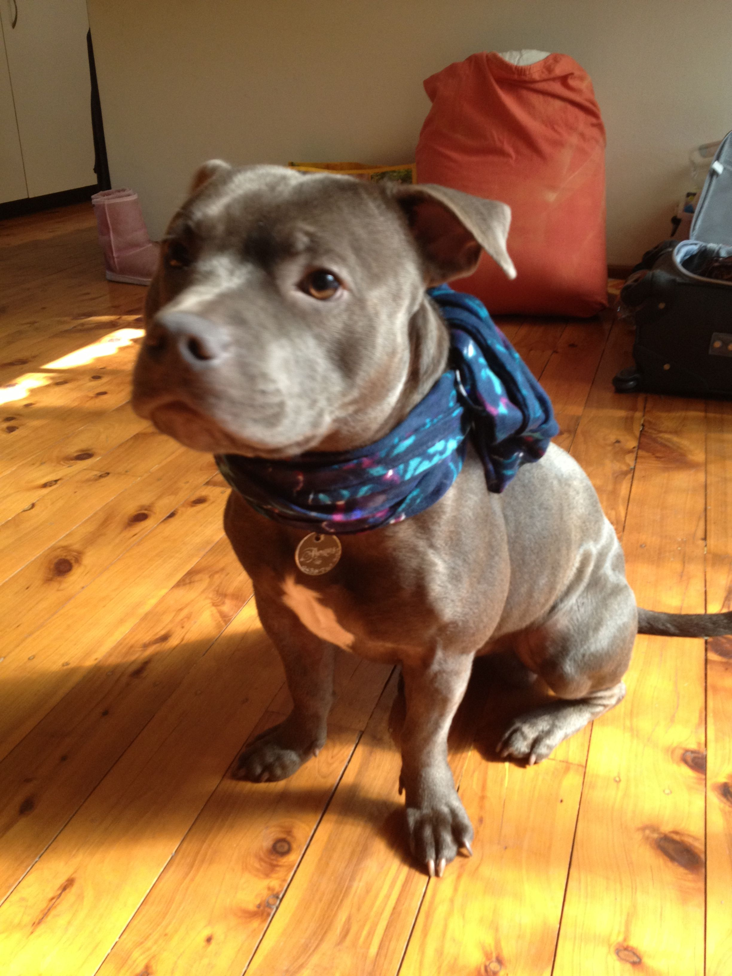 Blue Staffy Angus 1 Year Old Dog Love Baby Animals Sweet Dogs
