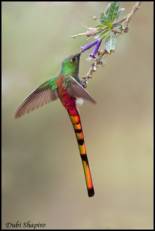 **Red-tailed Comet (Sappho sparganura) Male feeding on a flower