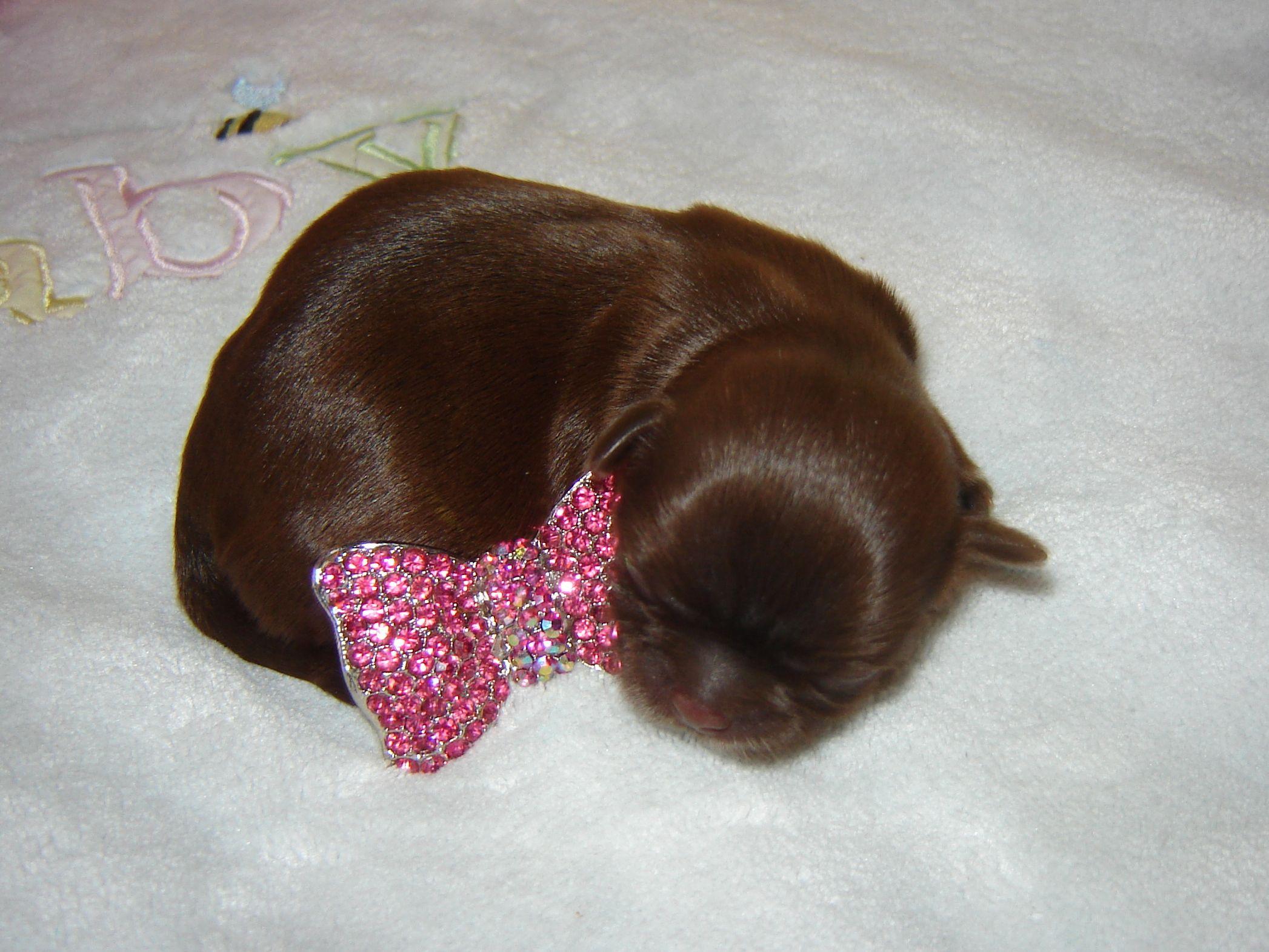 Newborn Chocolate Shih Tzu Shih Tzu Puppy