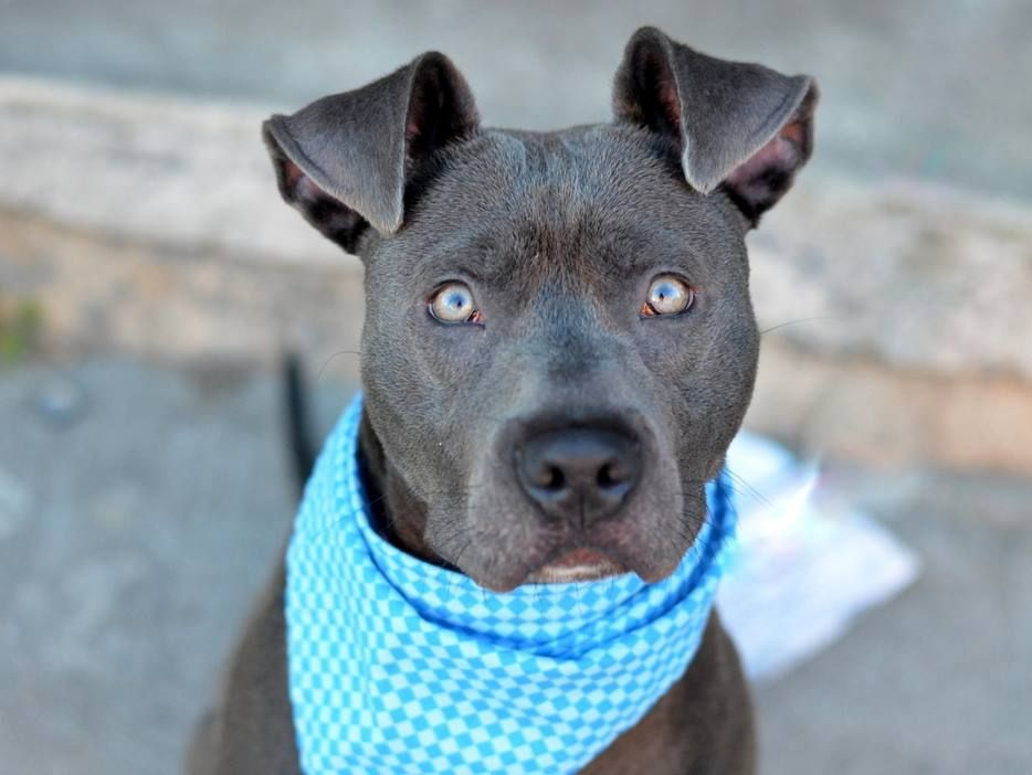 To Be Destroyed 10 21 14 Brooklyn Center P My Name Is Rocky My Animal Id Is A1016772 I Am A Neutered Male Blue And Whi Pitbull Mix Dog Adoption My Animal