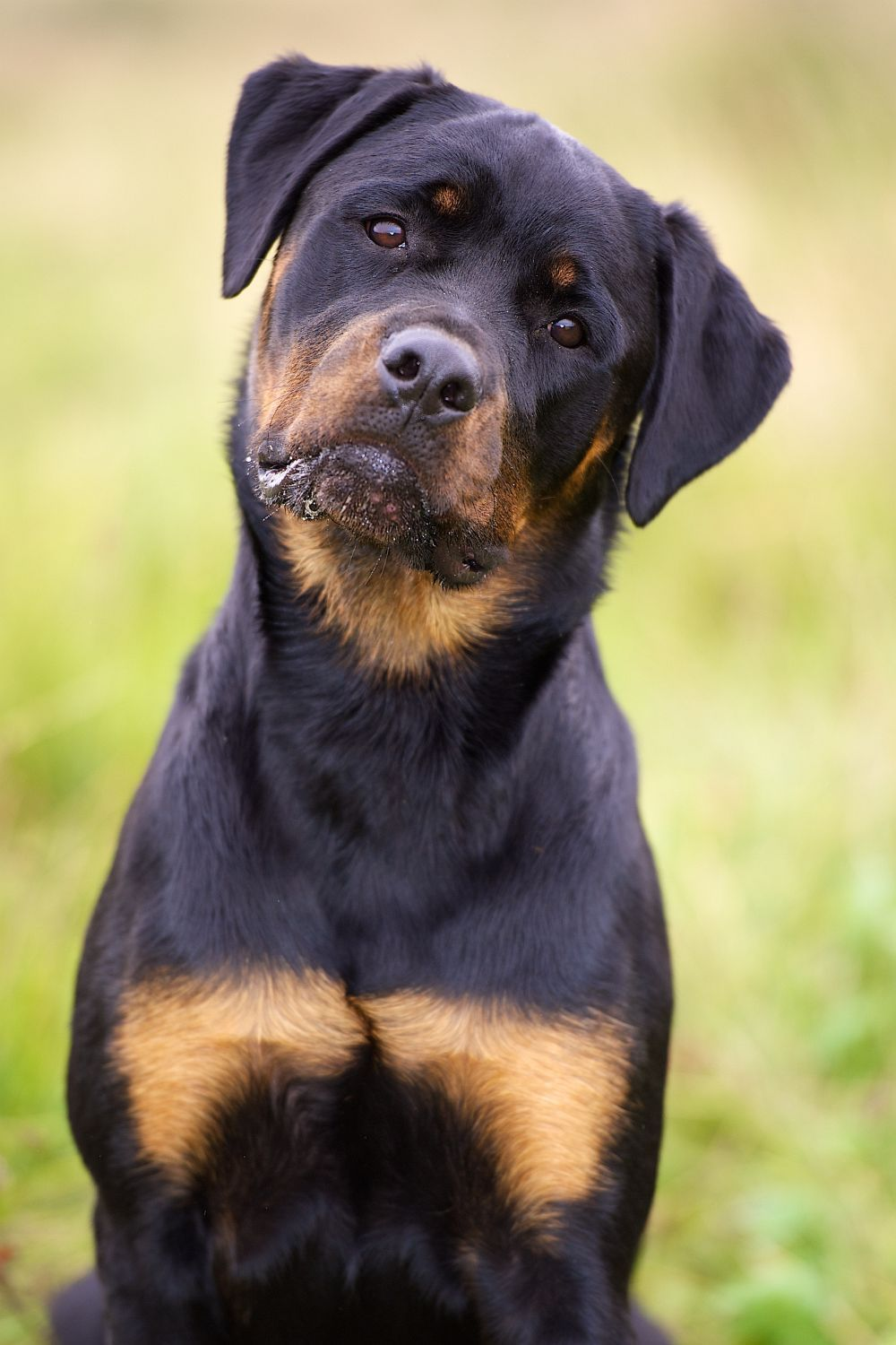 how to train a rottweiler puppy not to bite