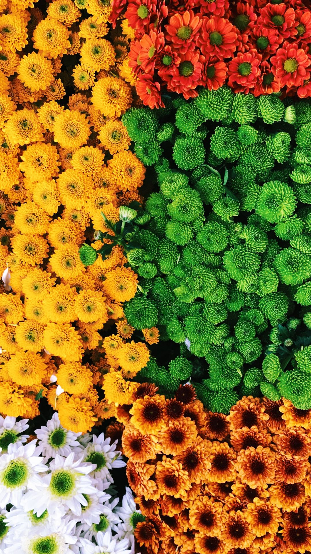 Wallpapers yellow, annual plant, plant, tansy, groundcover