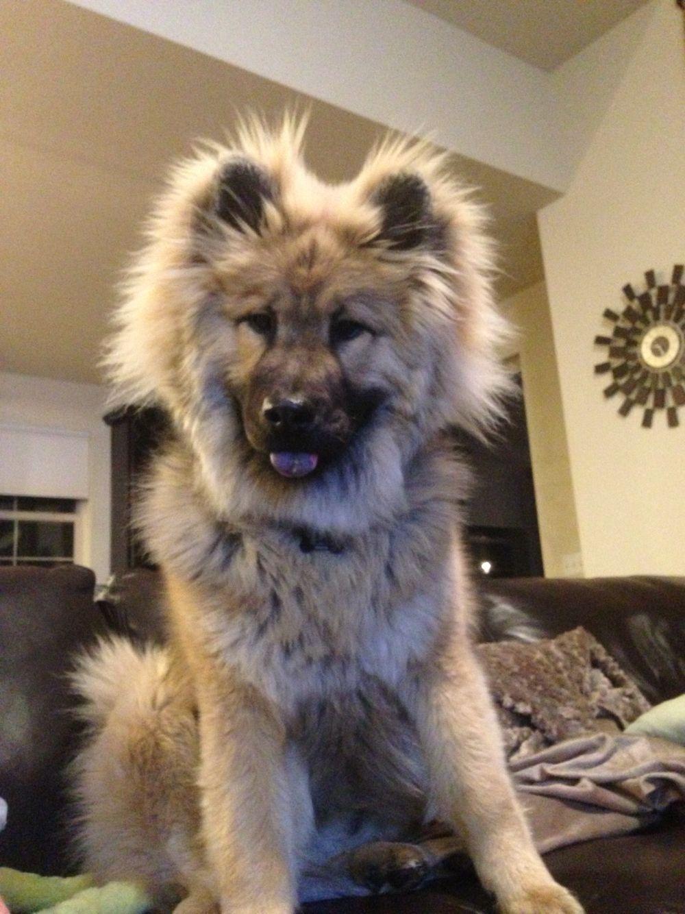 Eurasier Pup Eurasier Dogs Pinterest Chien Animaux