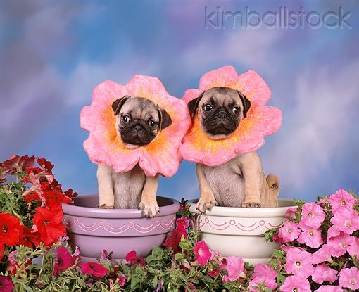 Pug Tunia Two Pugs Standing In Flower Pots Wearing Flower