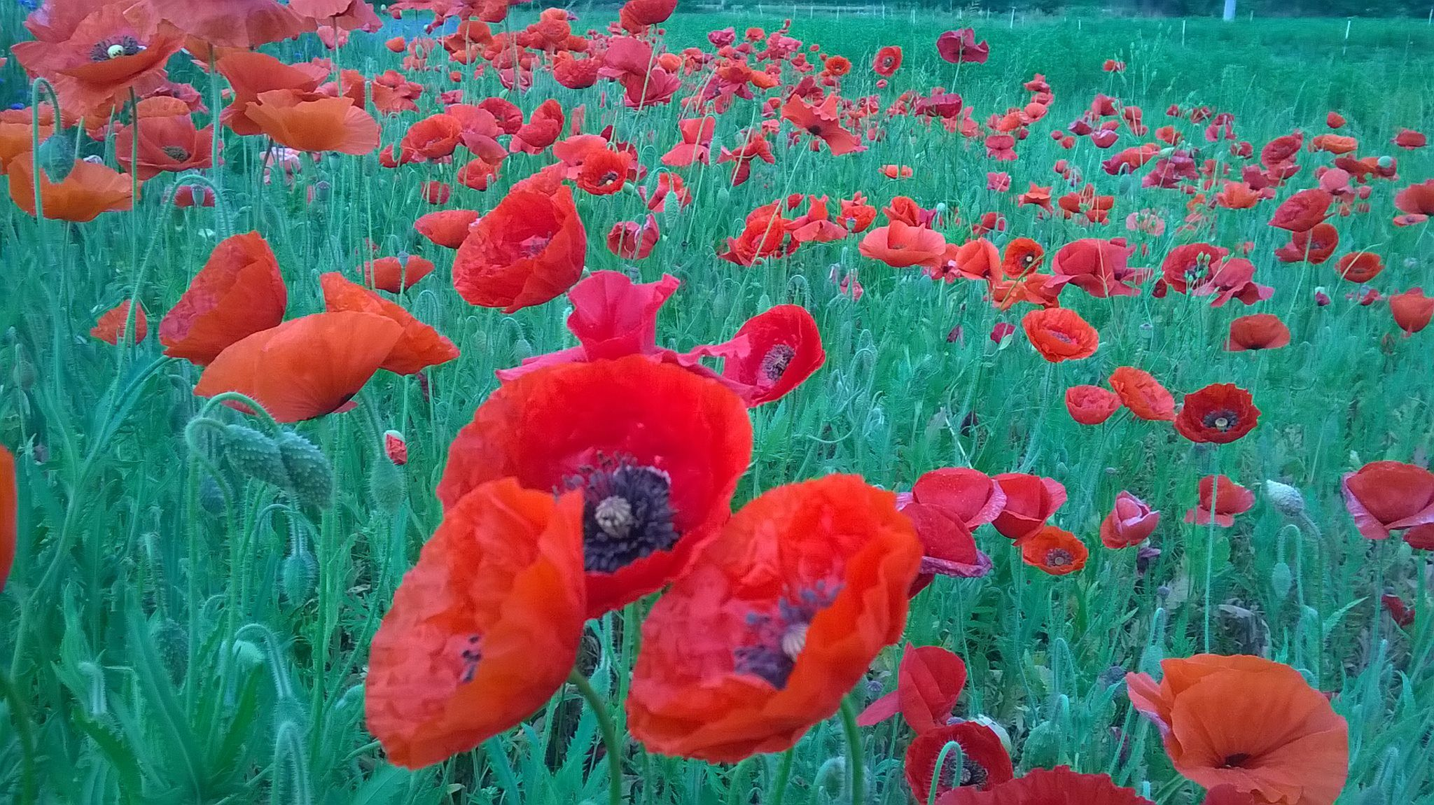 Red poppies in our garden may 2015