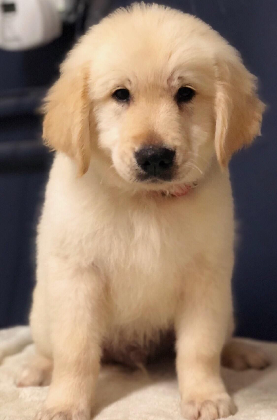Just How Dark Will This Fluff Boy End Up Getting Golden