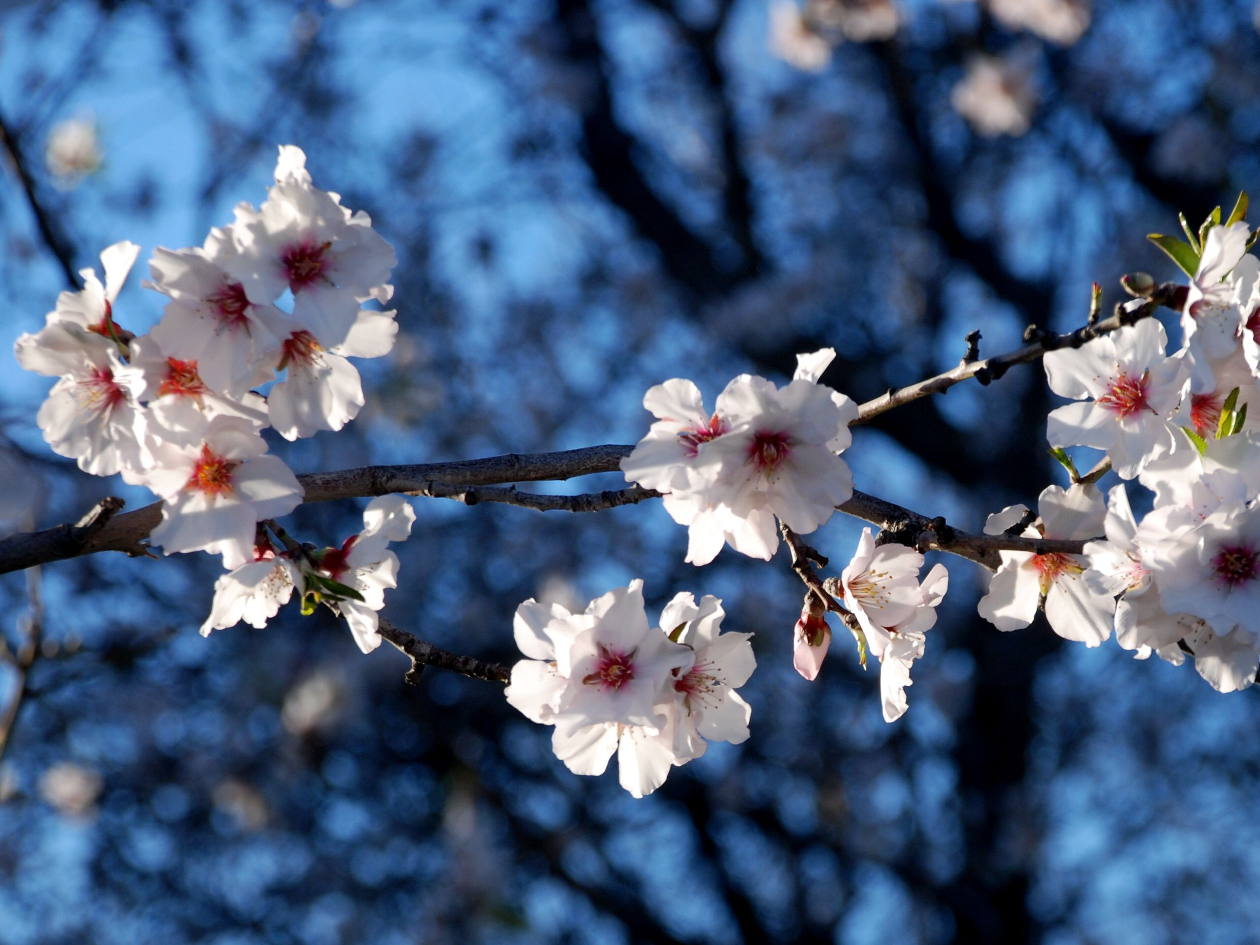Hope And The Almond Blossom
