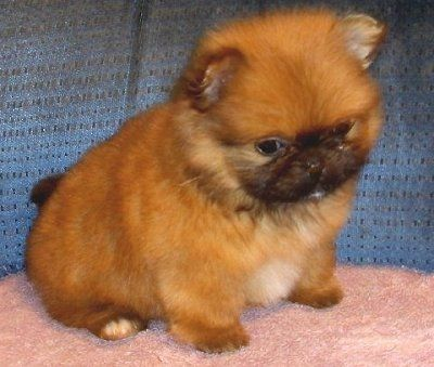 Image Result For Pomeranian And Pekingese Mix Mixed Breed