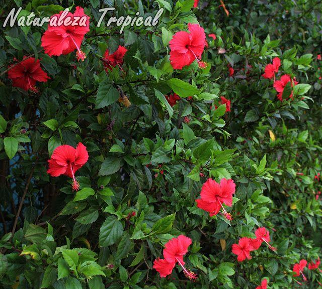 Arbusto florido de la rosa de china hibiscus rosa for Plantas ornamentales