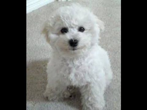 Bichon Frise Puppies For Sale In Orlando Florida Fl Palm Bay D Bichon Frise Bichon Bichon Frise Puppy