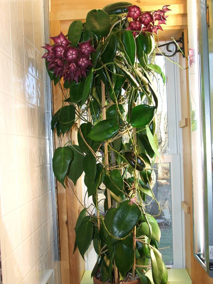 Hoya macgillivrayi → Plant profile and more photos at