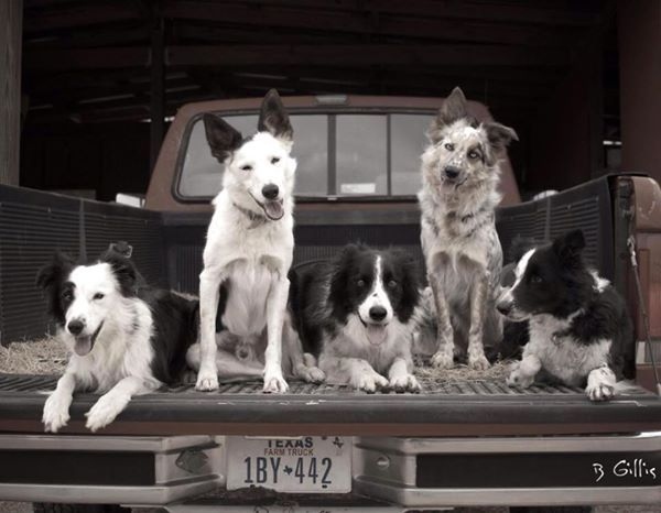 Have Border Collies, Will Herd