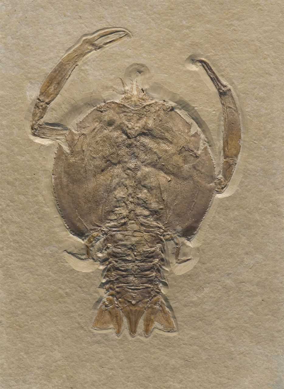 Late Jurassic crab (Eryon arctiformis) from Solnhofen (Germany)