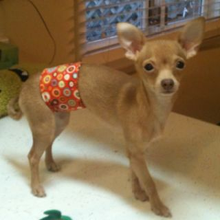 Belly Band For Bentley Chihuahua This Is So Easy To Make And You