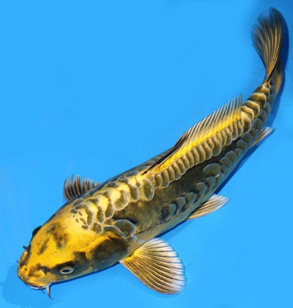 Live koi fish 10 11 olive dragonscale ghost koibay koi for Koi goldfisch