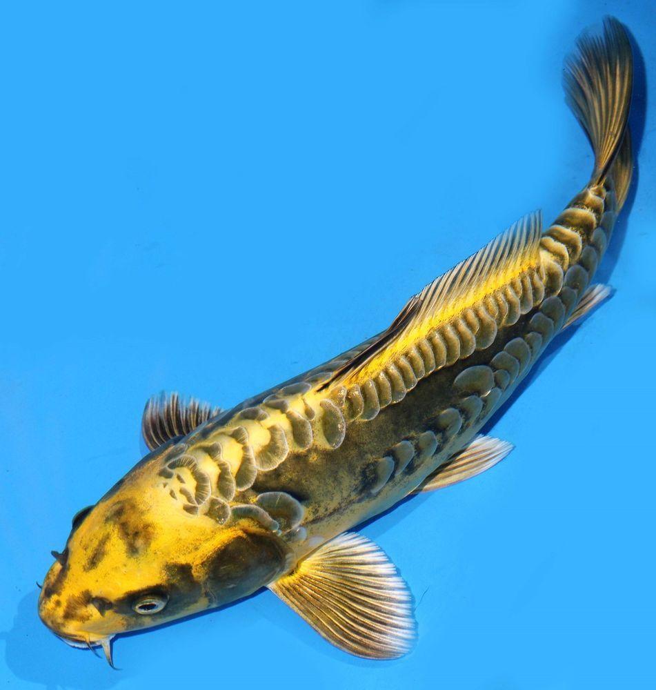 Live Koi Fish 10 11 Olive Dragonscale Ghost Koibay Koi Fish Koi Fish Pond Koi