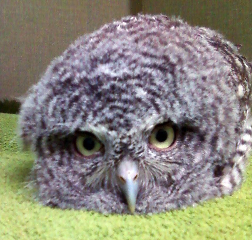 Screech owl baby (With images) | Baby owls, Owl, Screech owl
