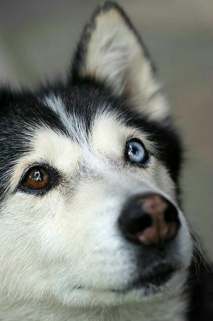 Heterochromia Iridum Husky With Mismatched Eyes Wall Eye Blue