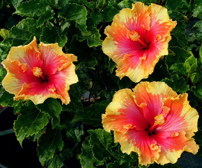 The Different Types Of Hibiscus Hibiscus Plant Hibiscus Hibiscus Garden