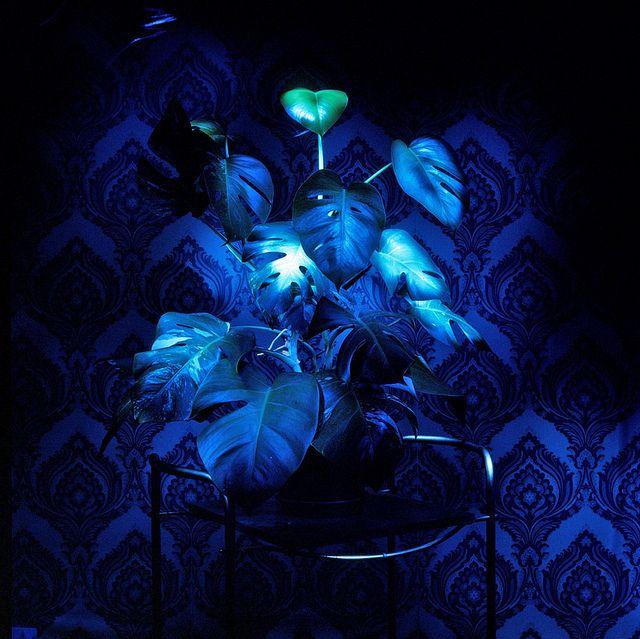 Galaz Vera , Philodendron azul II 2008