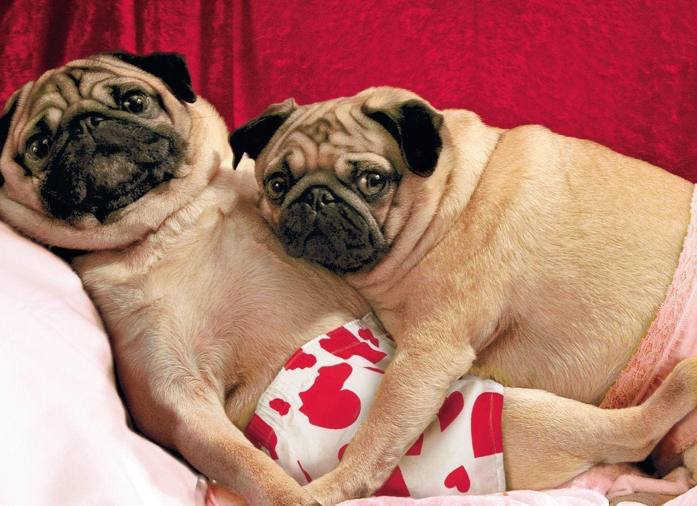 17 Best images about PUG VALENTINE CARDS – Pug Valentine Cards