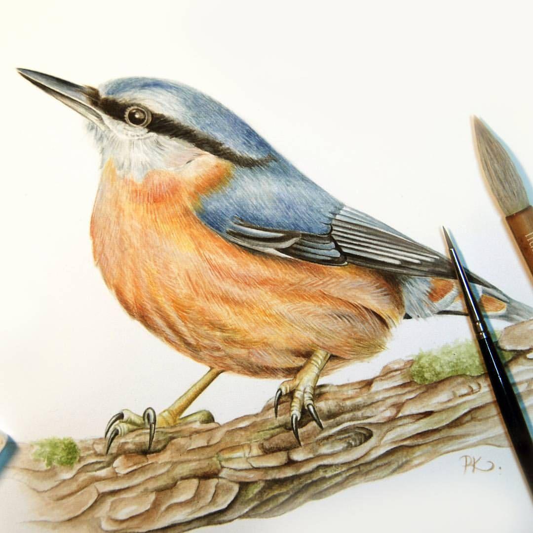 Brhlik Lesni Nuthatch Ornitologhy Birds Watercolour
