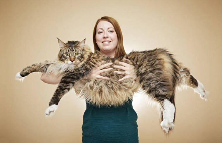 Maincoon, King of cats