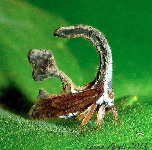 This Really Cute Little Treehopper Is Only 5 Mm Long And
